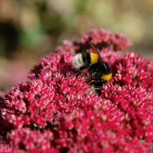 Bee and sedum