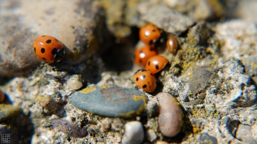 Colony of ladybugs