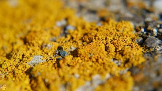 Sulphuric lichen