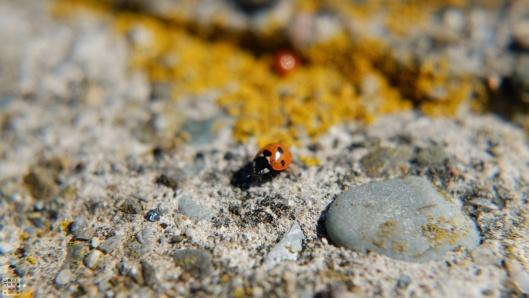 Ladybug and lichen